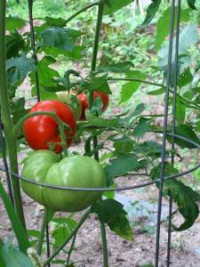 Large tomatoes on the vine