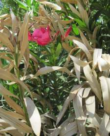 oleander with new spring growth