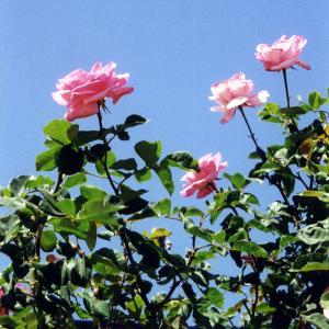 Rosebush with pink flowers and blue sky behind