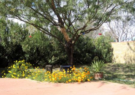 mesquite tree and flowers