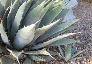 Larger agave with smaller agave underneath