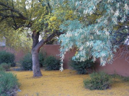 Trees in southwestern US