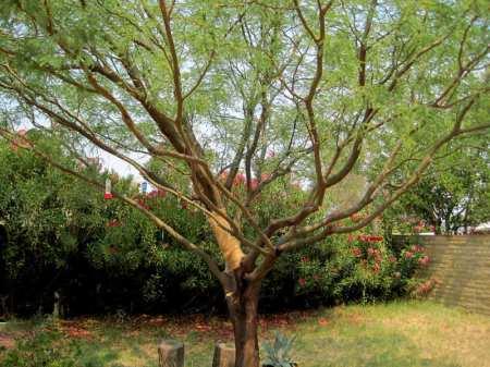 Zorba, a mesquite tree