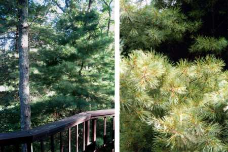 white pine deck and tree