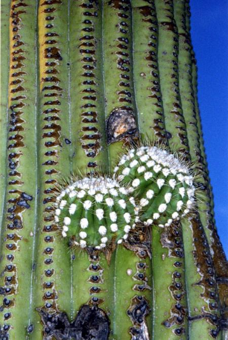 Saguaro cactus with new growth
