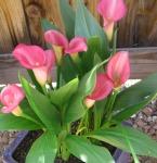 2) Lilies