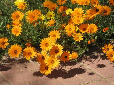 3) African Daisy