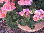 8) Geraniums