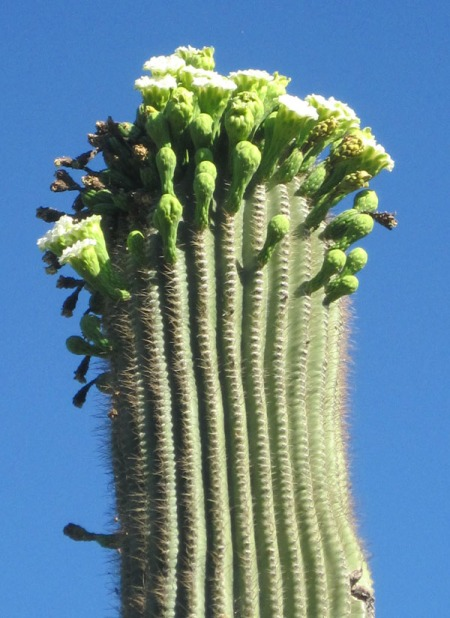Saguaro Bloom (c) Alicja Mann