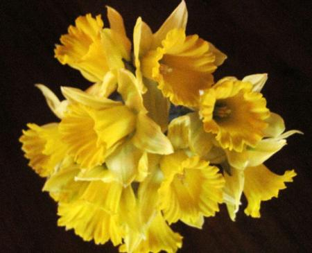 Yellow daffodils on a dark background