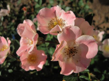 A pink pretty rose