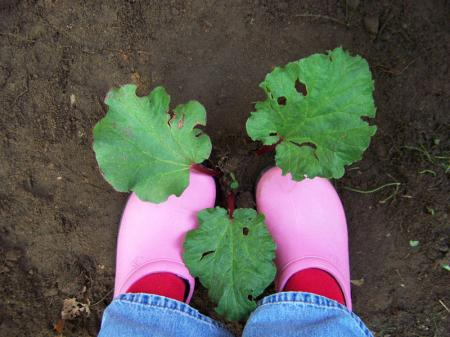 Small rhubarb in dark soil