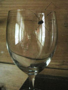 A black spider attempting to escape from a  wine glass.