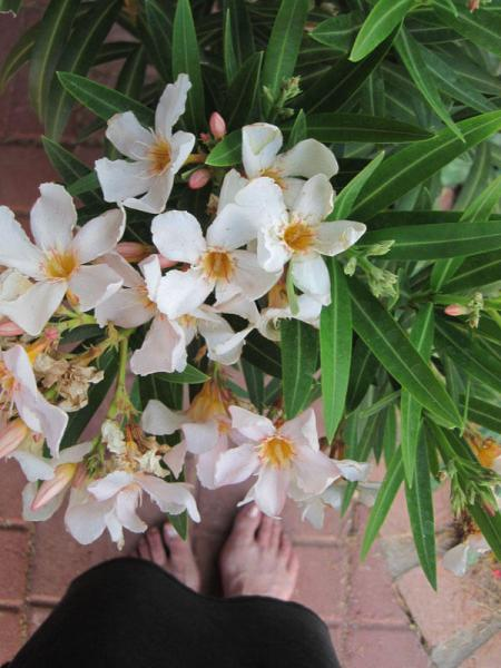 White flowers of oleander