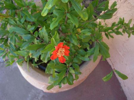 Small pomagranade plant with one red flower